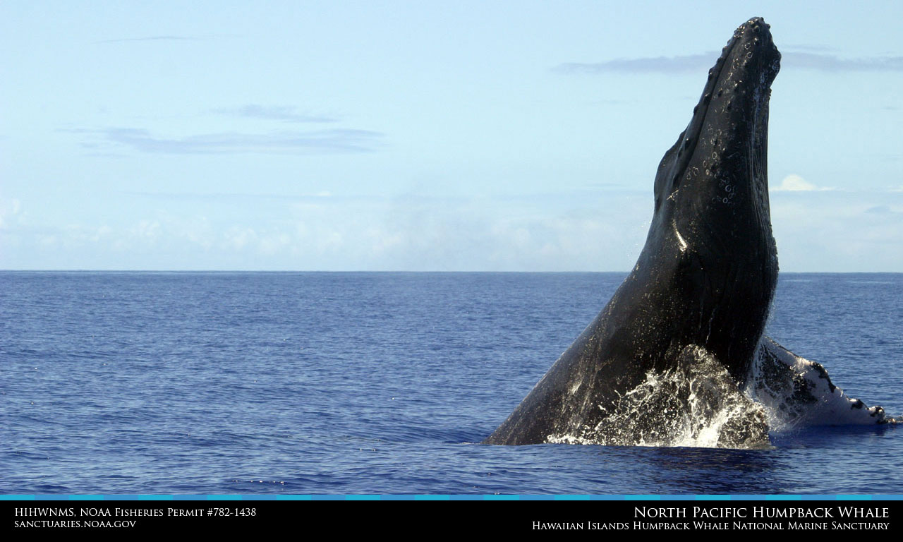 Hawaiian Islands Humpback Whale Desktop Wallpaper 1280x768