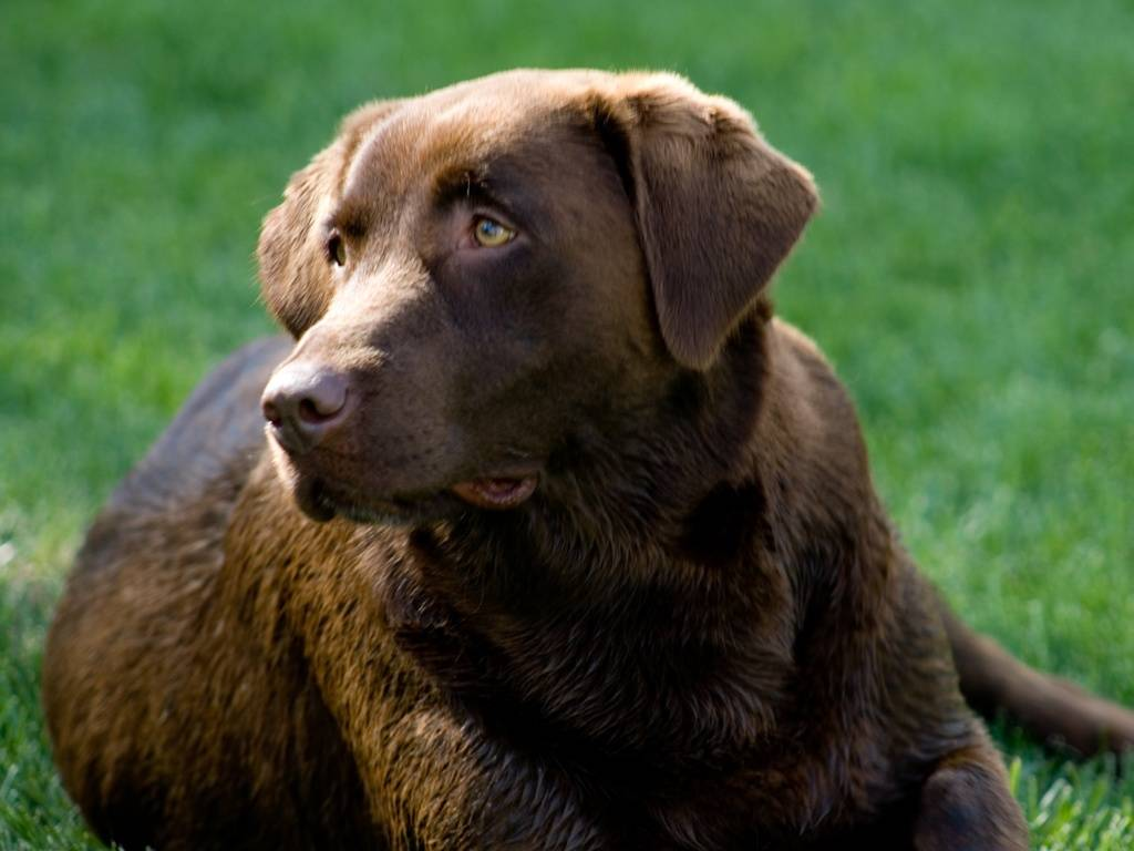 Chocolate and Black Labs 1024x768