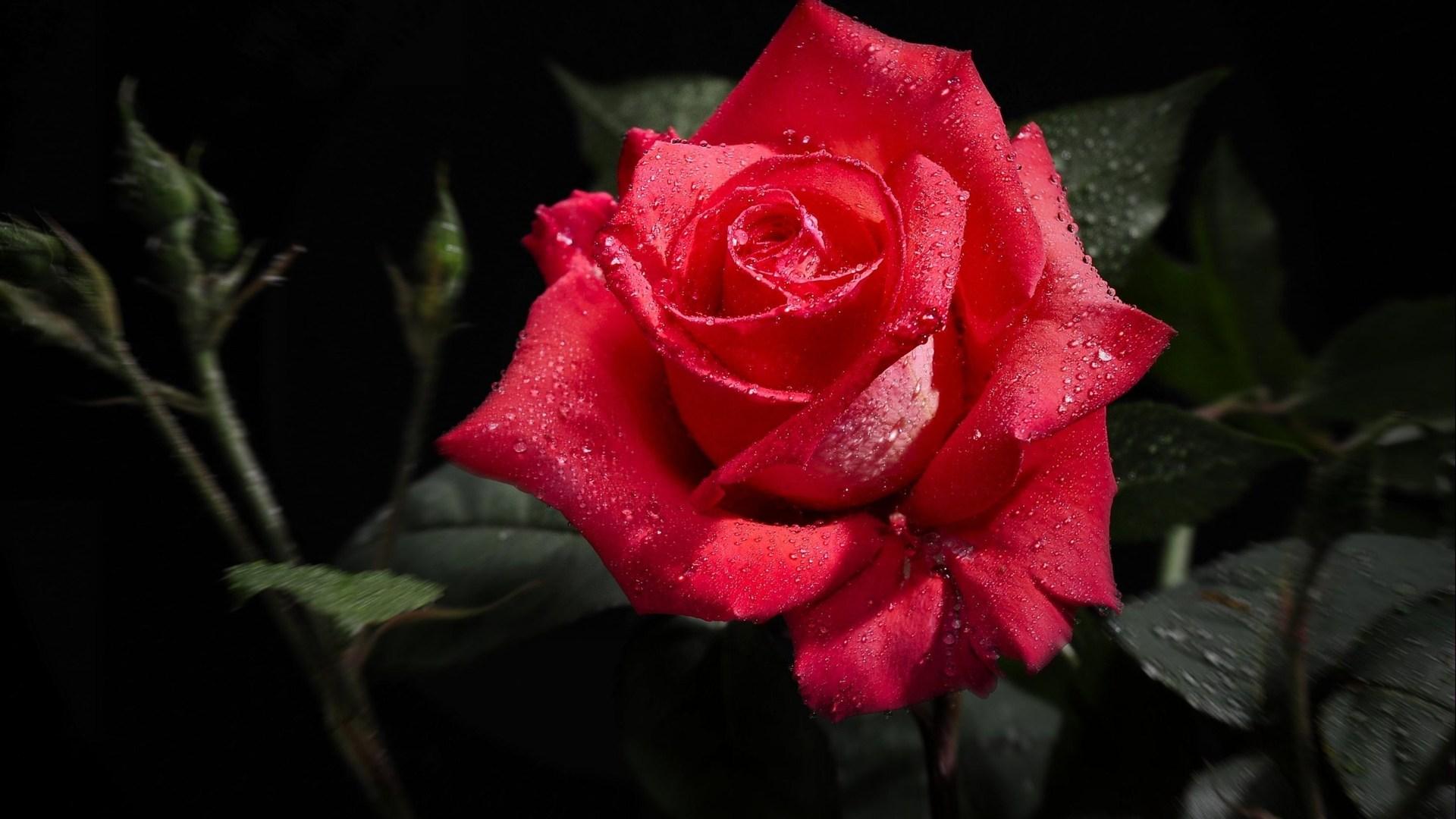 Full HD red rose desktop wallpapers Desktop Red Rose Wallpaper HD 1920x1080