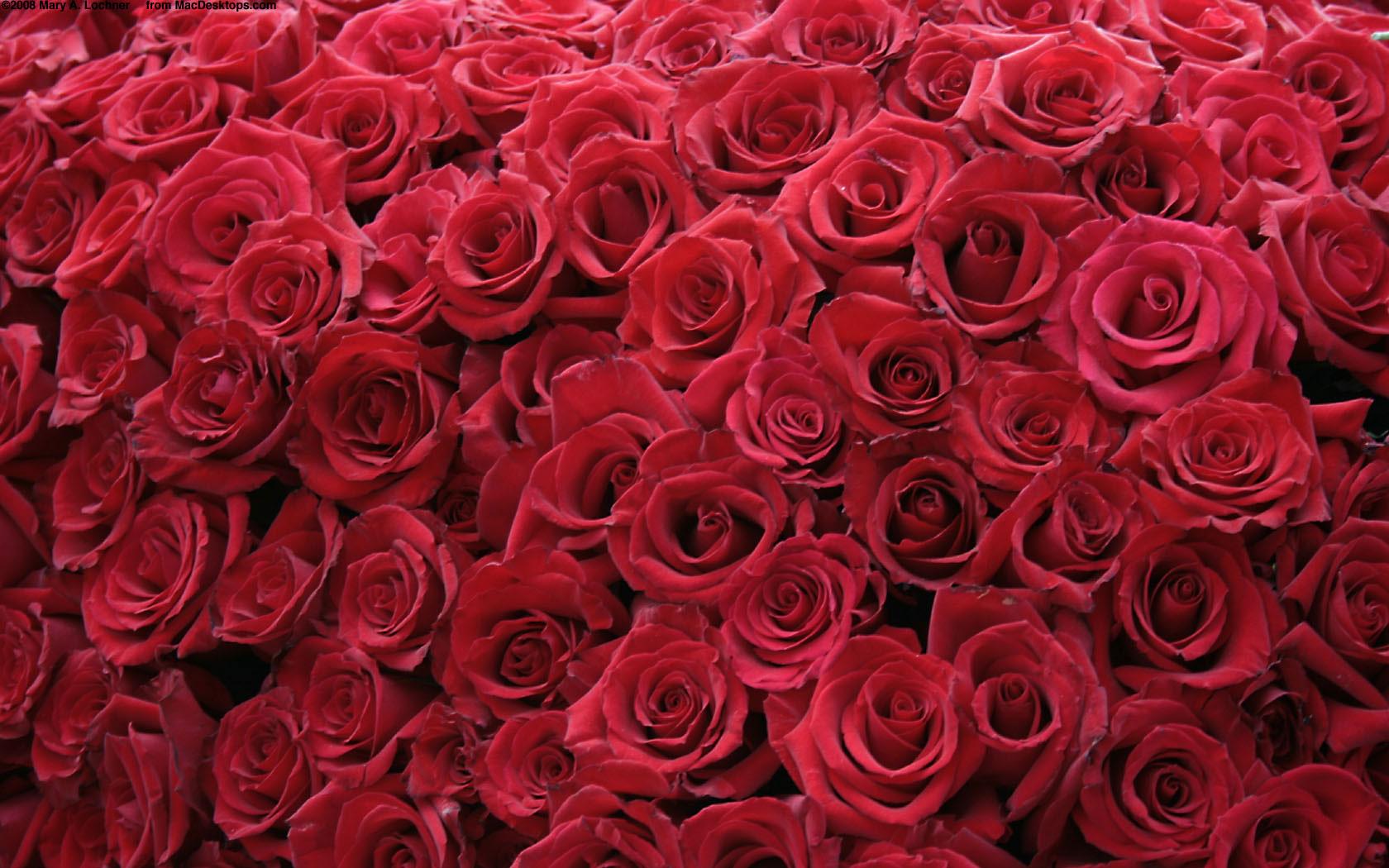 Red Roses Wallpaper HD Wallpaper Flowers Wallpapers 1680x1050