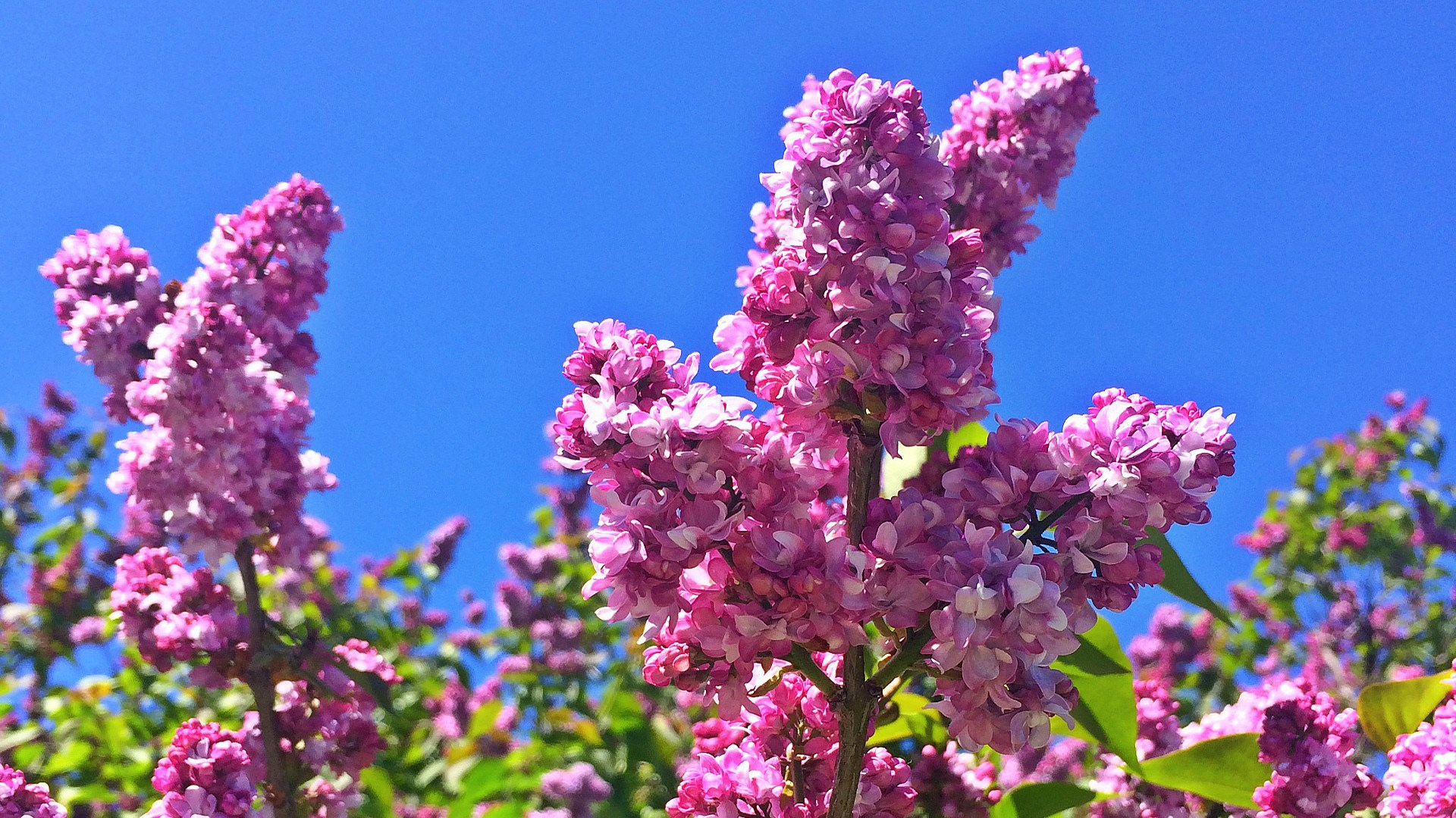 Lilac Festival announces 2020 dates new entertainment holiday 1920x1080