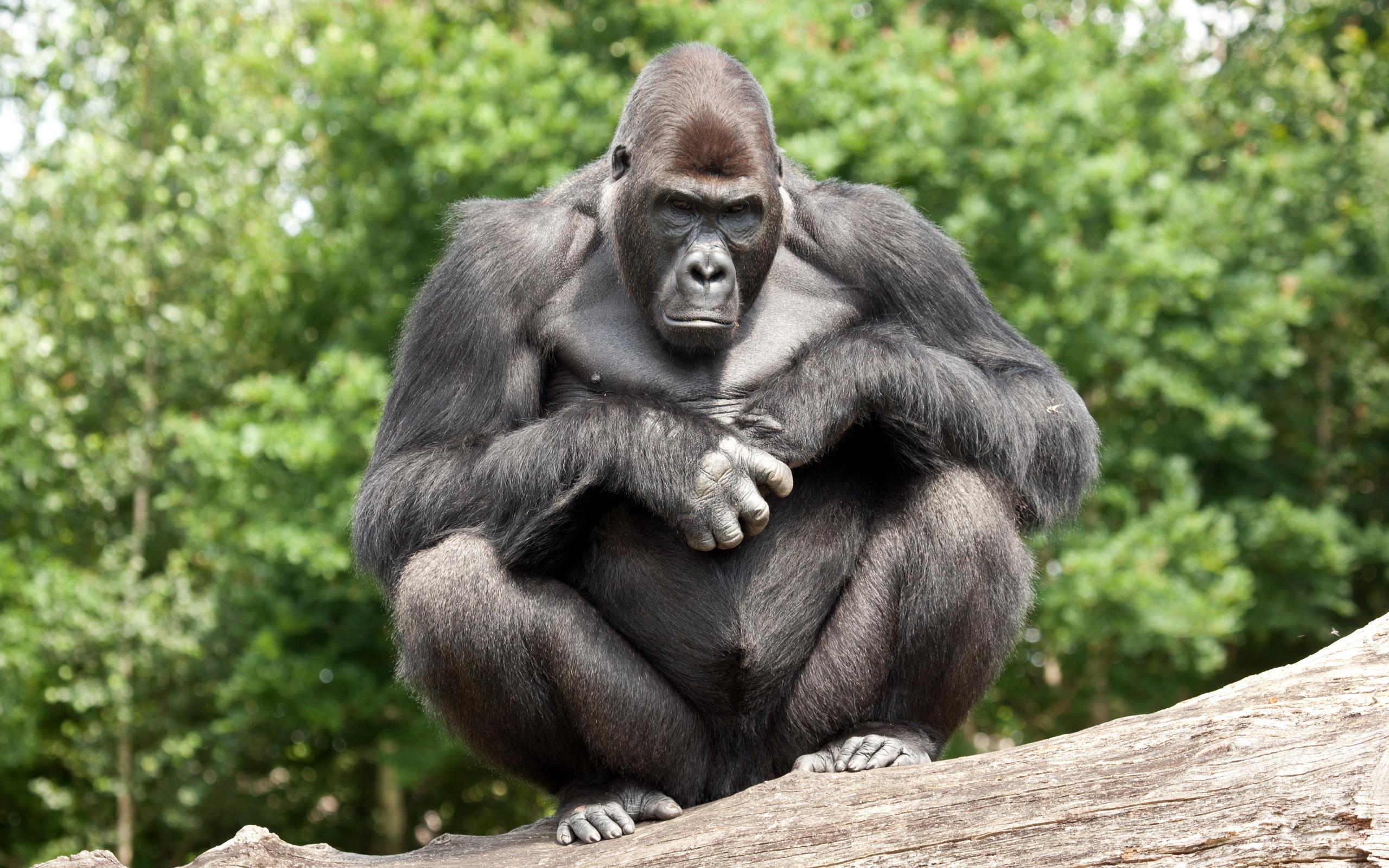 Animal   Gorilla Wallpaper 2560x1600