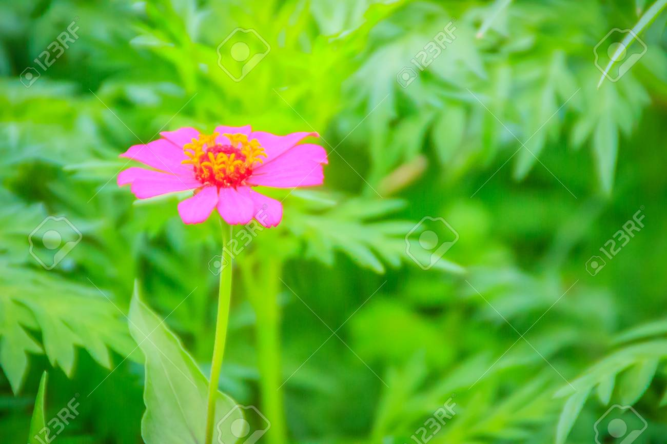 Beautiful Pink Flower Zinnia Violacea Cav With Green Leaves 1300x866