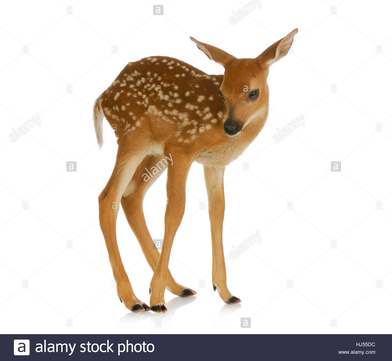 fawn   white tail standing isolated on white background Stock 1300x1197