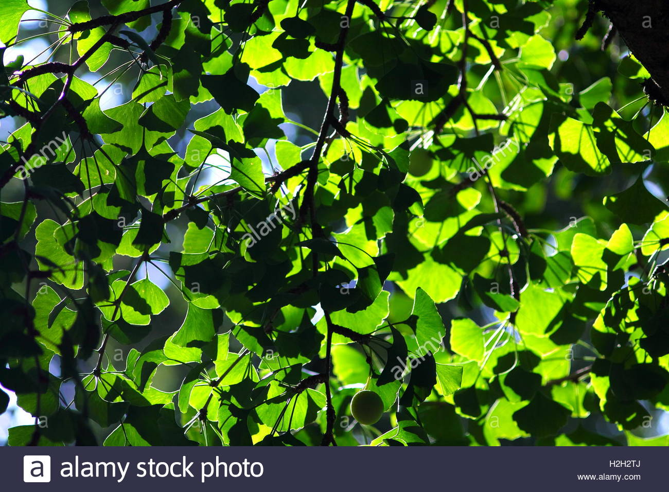 Juicy green ginkgo leaves background Ginkgo leaves canopy Stock 1300x956