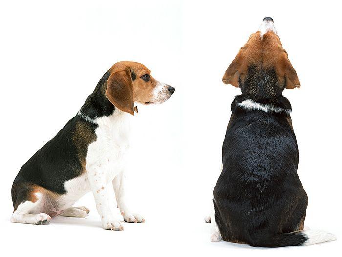 Free Beagle Wallpapers - WallpaperSafari