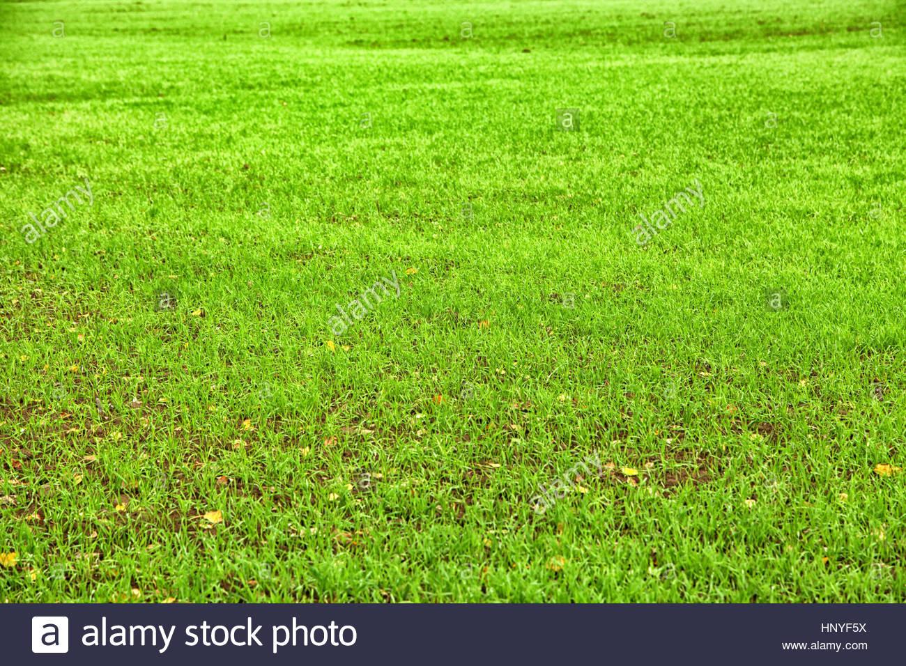 Kelly green lawn background Stock Photo 133984982   Alamy 1300x956