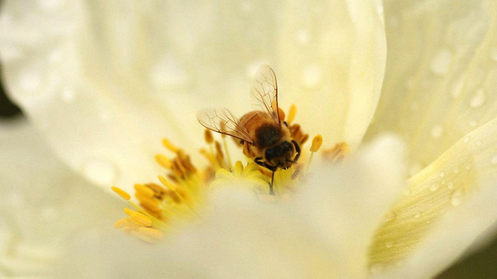 Bee Wallpapers 1920x1080