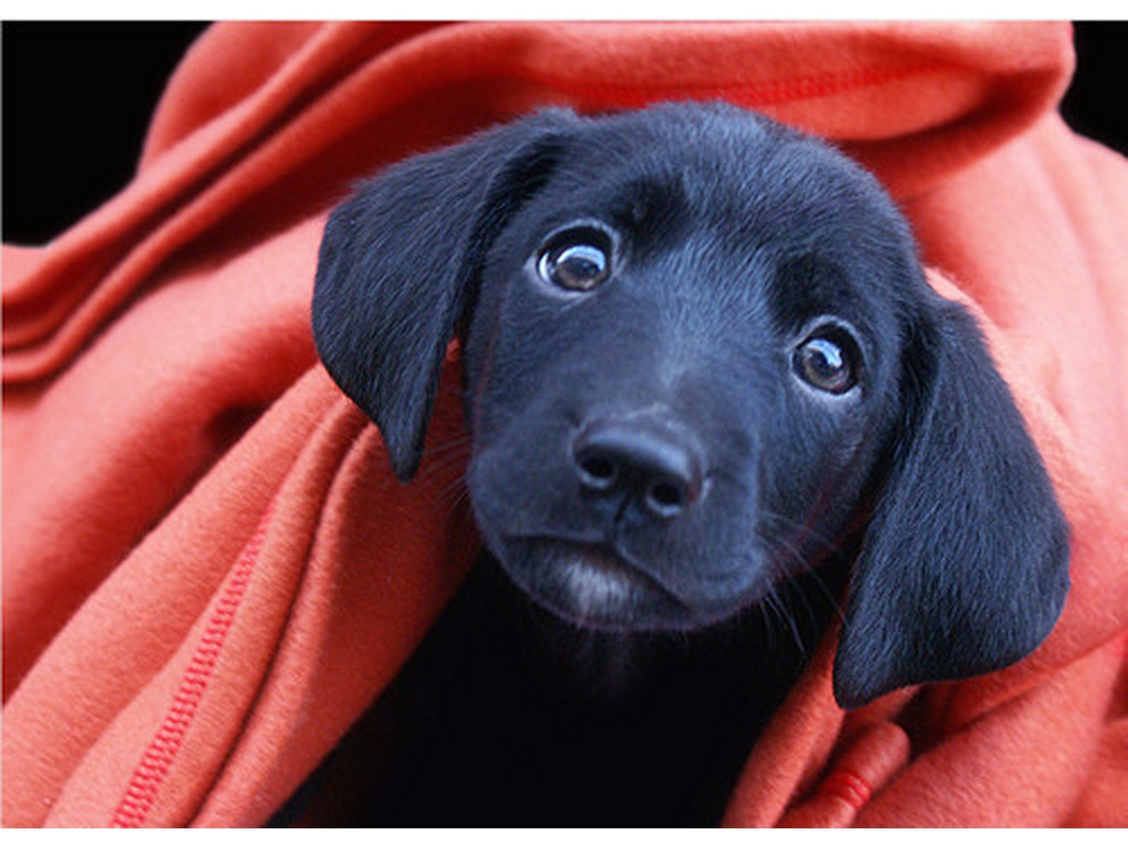 Black Lab Puppy Wallpapers   1600x1200   379587 1600x1200