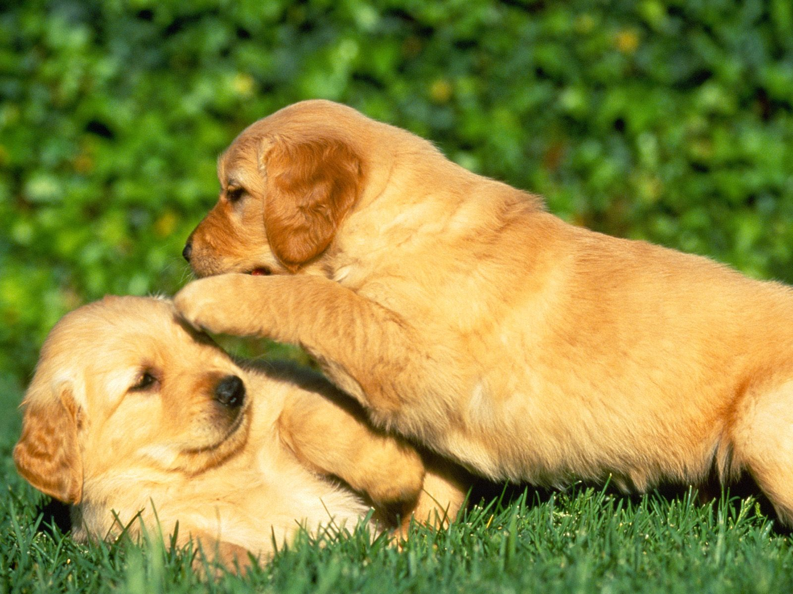 Puppy Power Wallpapers HD Wallpapers 1600x1200