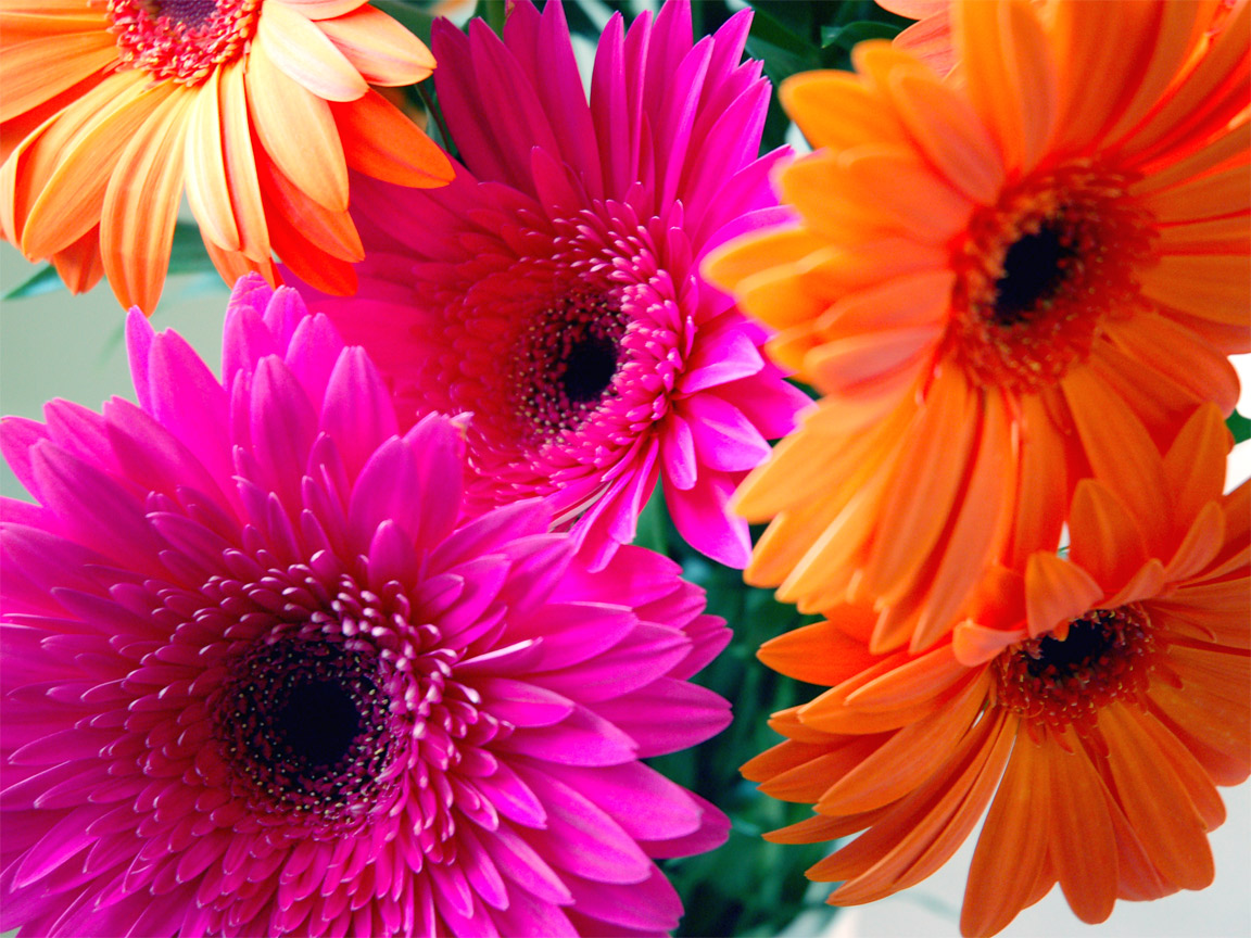 Gerbera Daisy Screensavers 1152x864
