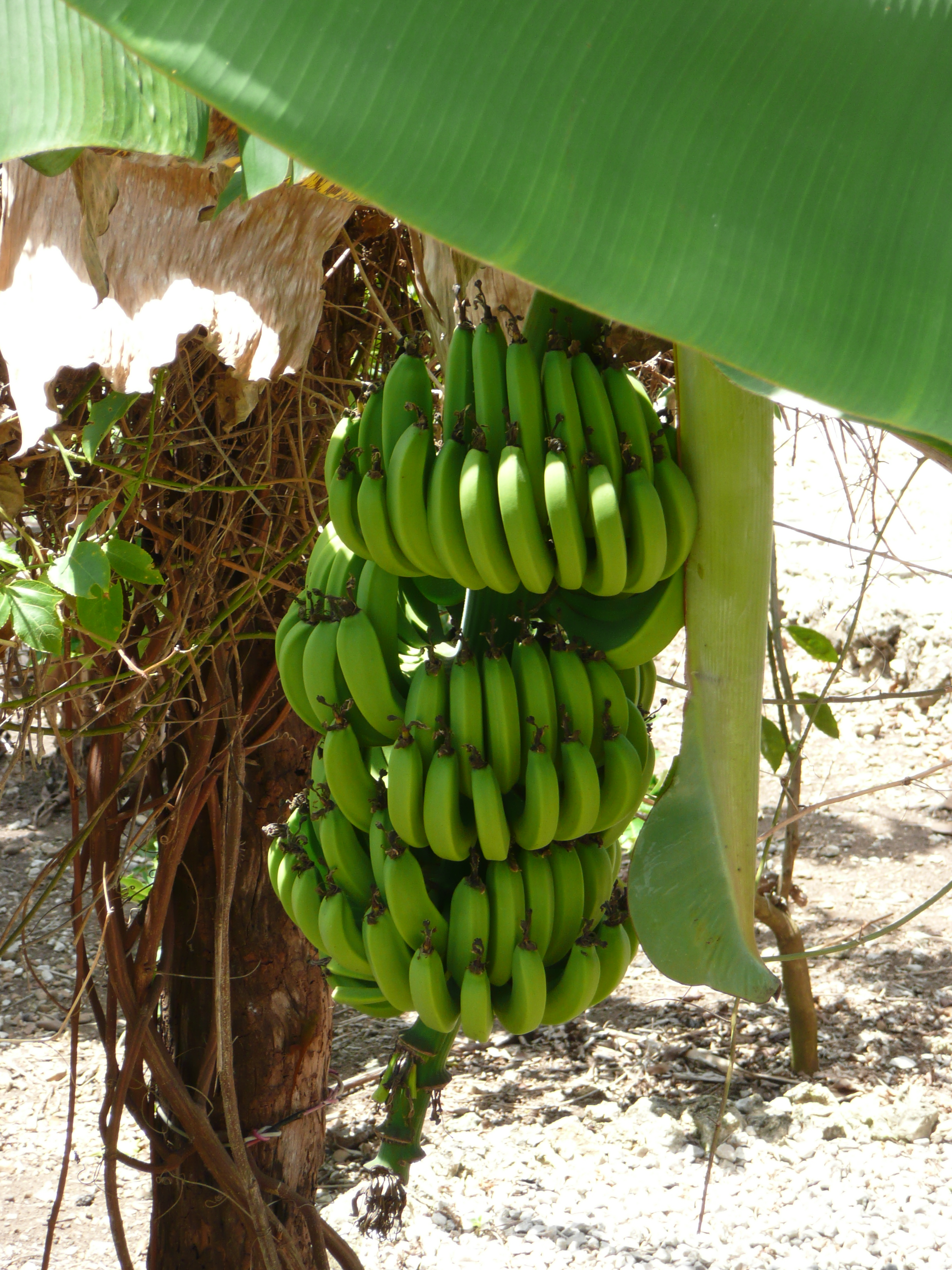 FilePunta Cana banana treejpg   Wikimedia Commons 2304x3072