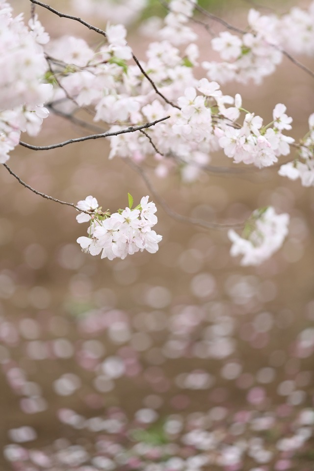 Download White cherry blossoms iPhone wallpaper 640x960