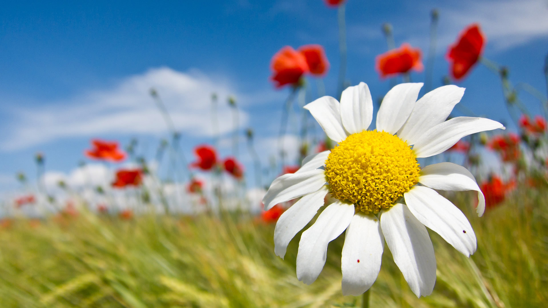 Spring Flowers Wallpapers in Red Yellow for Desktop Backgrounds 1920x1080