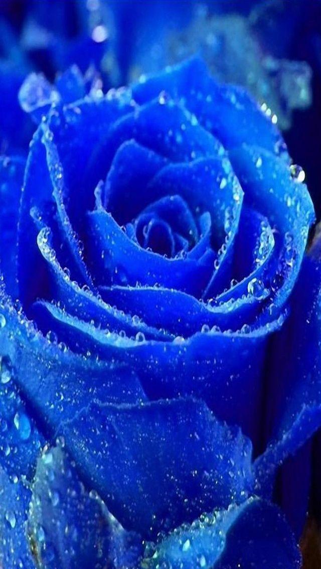 Blue rose iphone hd wallpaper 640x1136