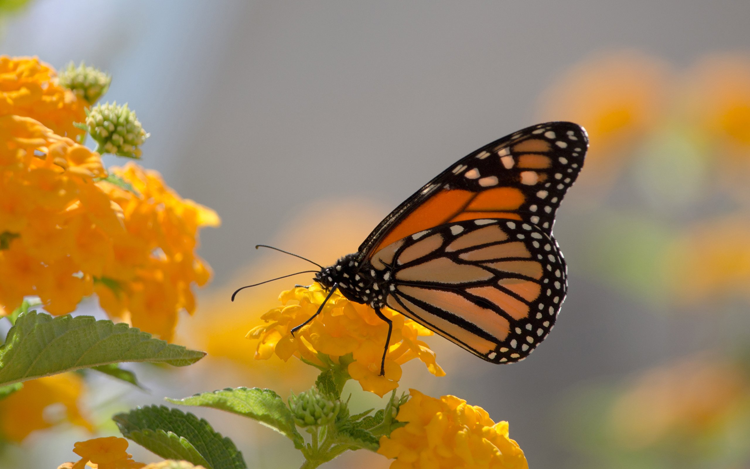 Monarch Butterfly And Yellow Lanthana Desktop Wallpaper 2560x1600