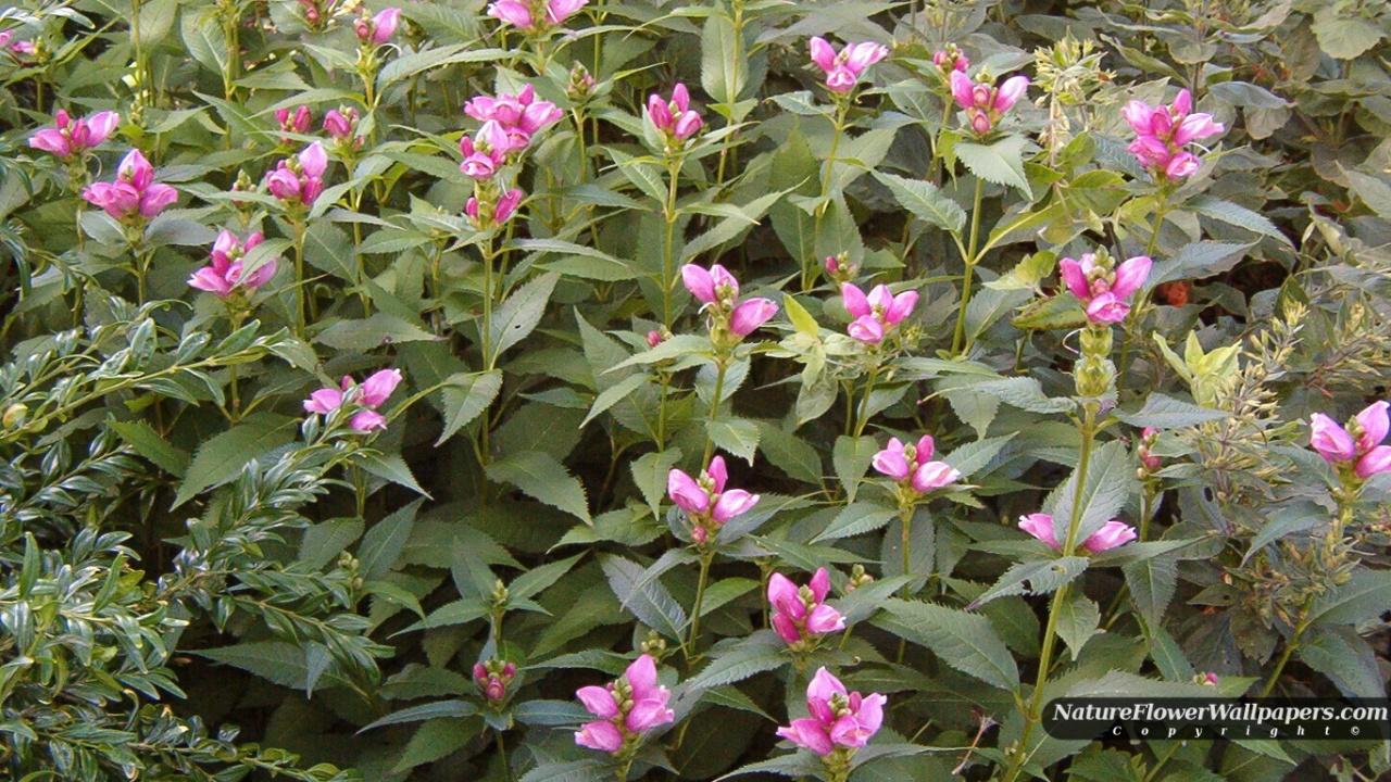 Pink flowers wallpaper 1280x720 resolution 1280x720