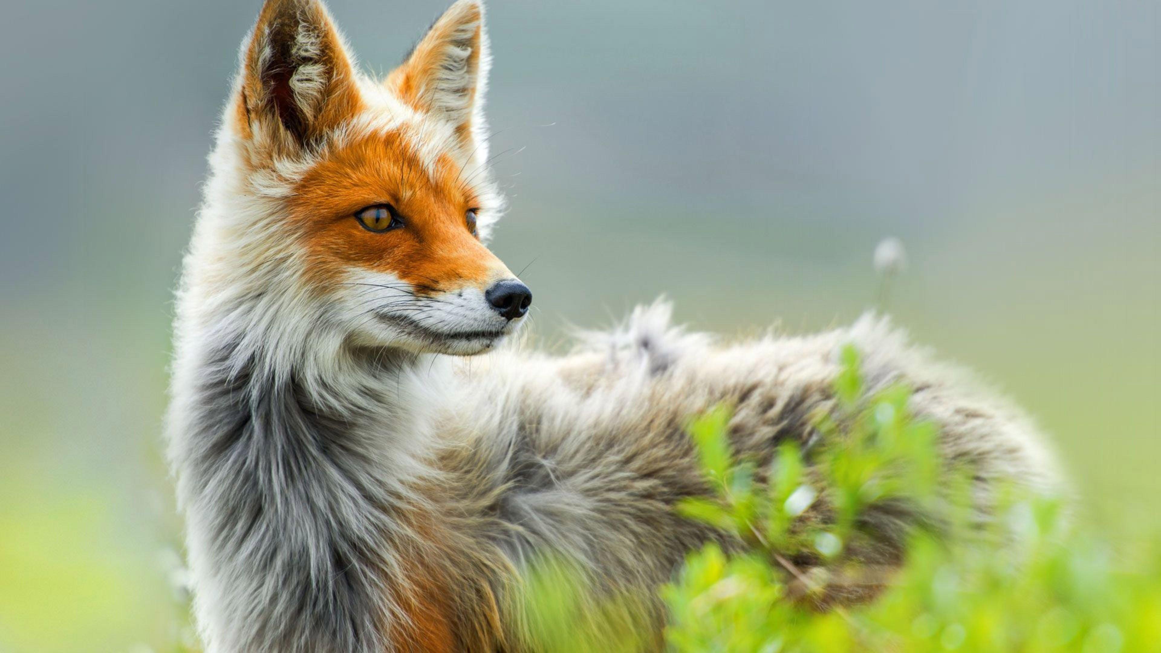 Free Download Wild Fox In Spring 4k Wallpaper 3840x2160
