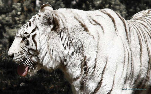 White Bengal Tiger Wallpaper Walltor 640x400