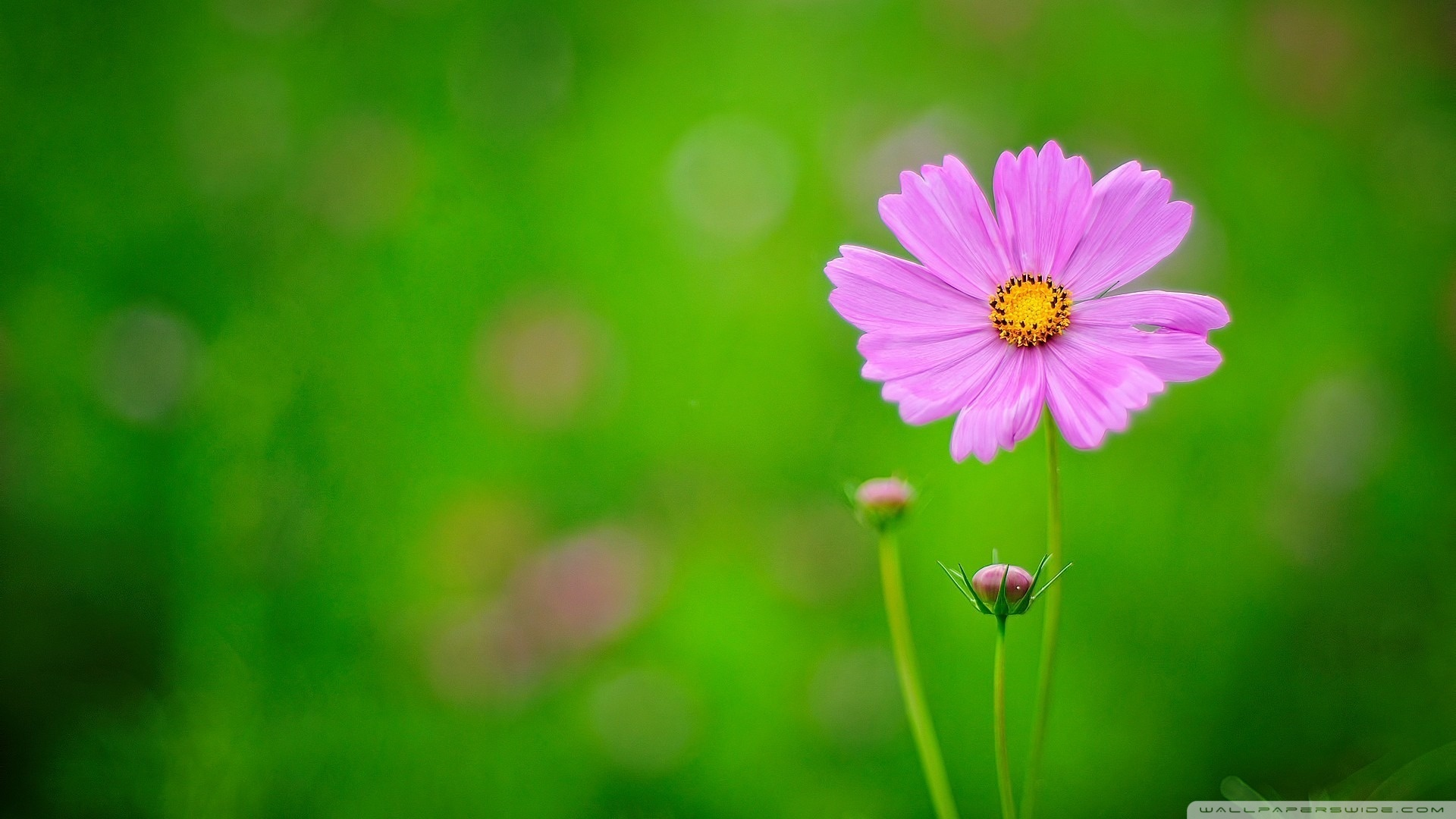 wallpaper background green pink flower floral images 1920x1080