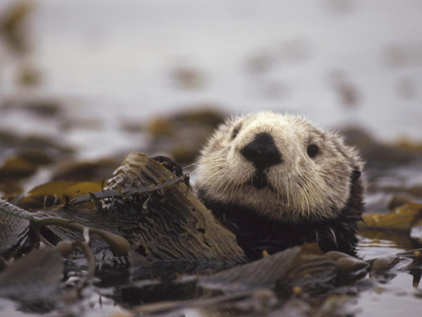 Pics Photos   Otter Wallpaper Animal Wallpapers Wallpapers 1400x1050
