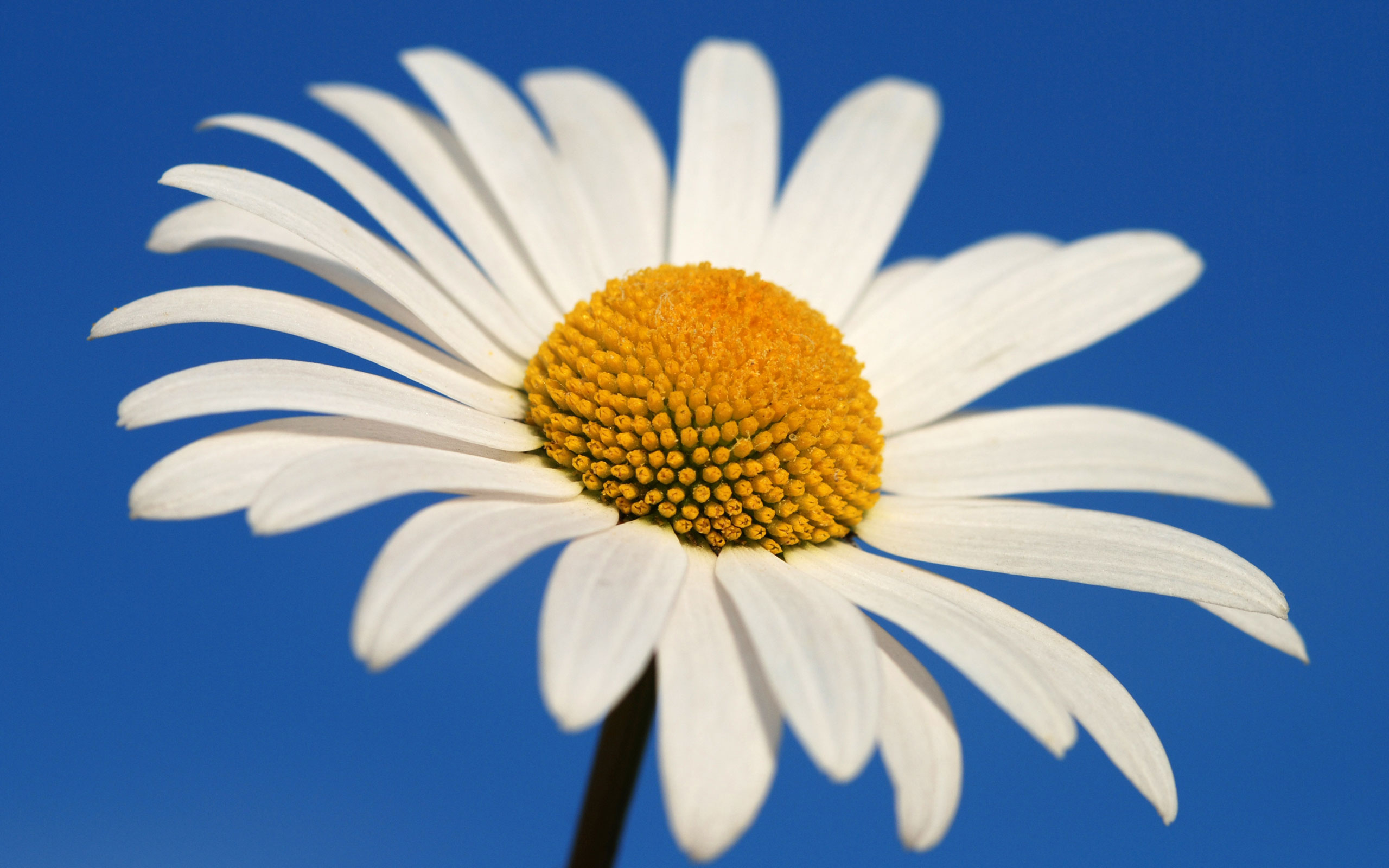 Glowing White Daisy Wallpapers HD Wallpapers 2560x1600
