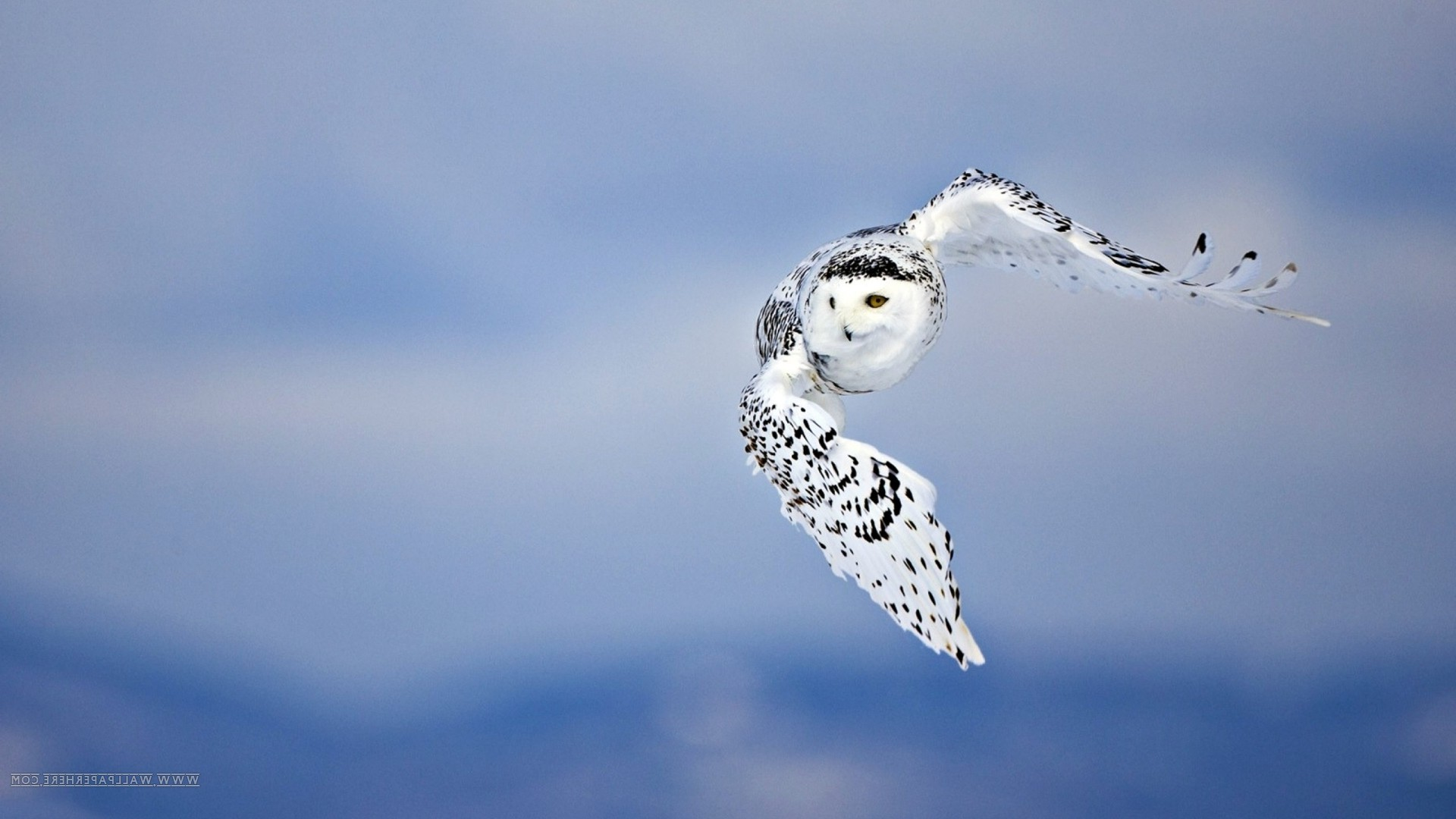 owl fly birds Wallpapers HD Desktop and Mobile Backgrounds 1920x1080
