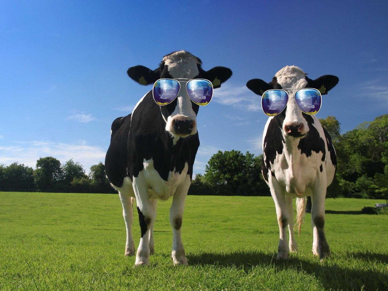 funny cow wallpaper wallpapersafari