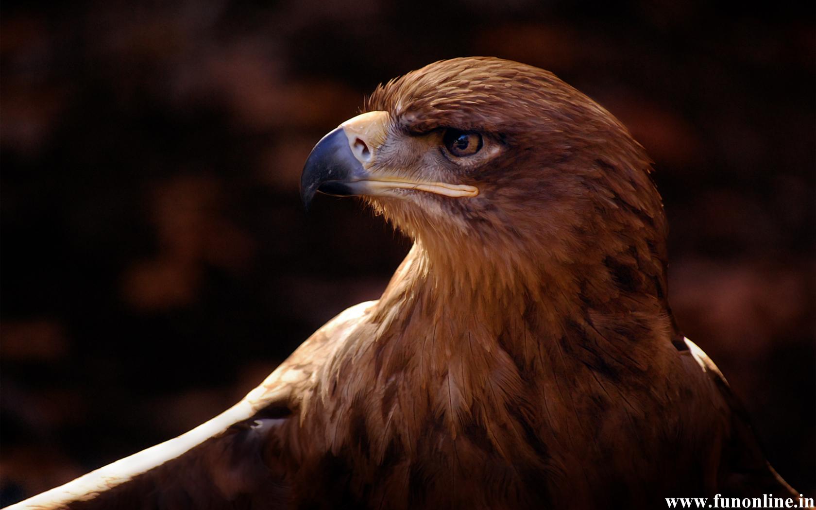 Eagle wallpaper for desktop wallpapersafari - Harpy eagle hd wallpaper ...