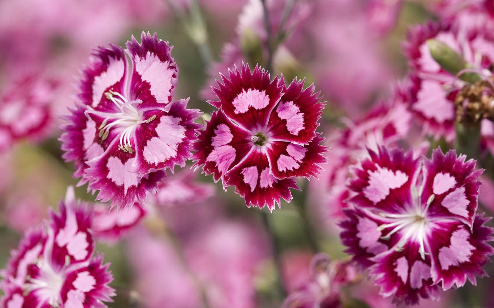 Free Wallpaper Pink Flowers WallpaperSafari