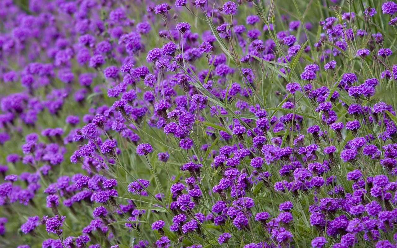 Related Pictures flower photos purple flowers on green background 1280x800