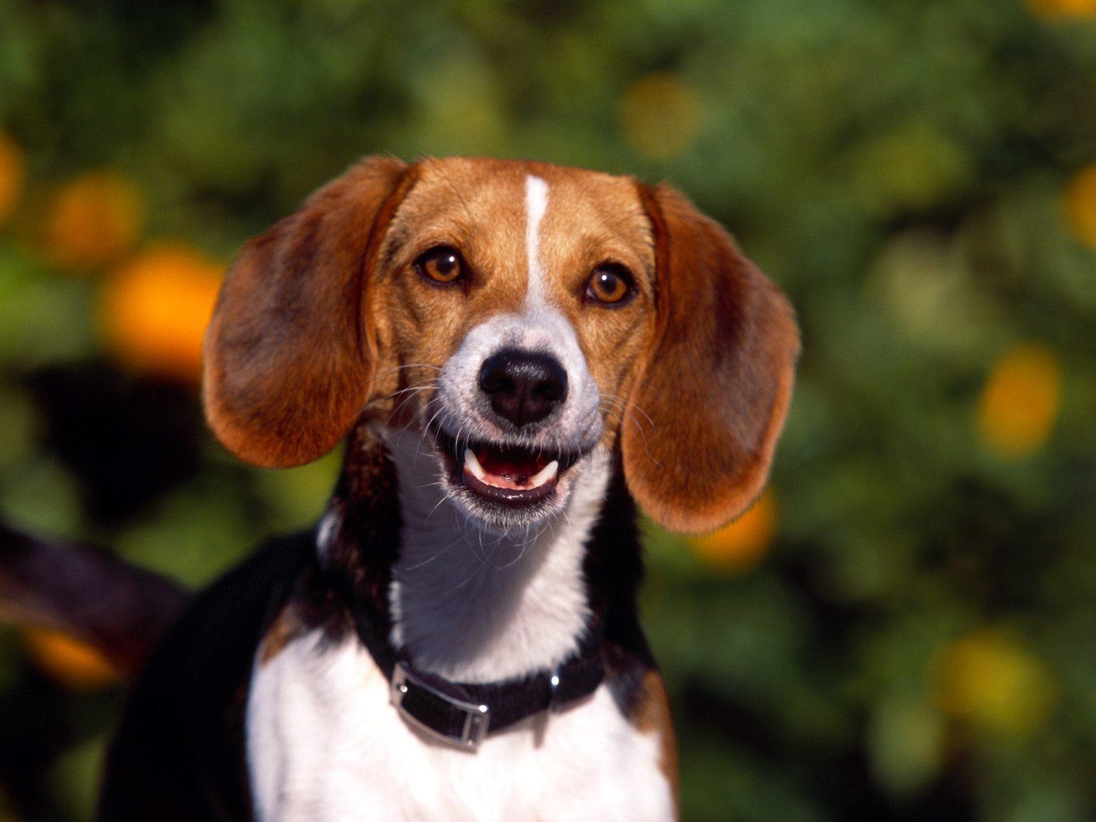 Beagles Beagle 1600x1200
