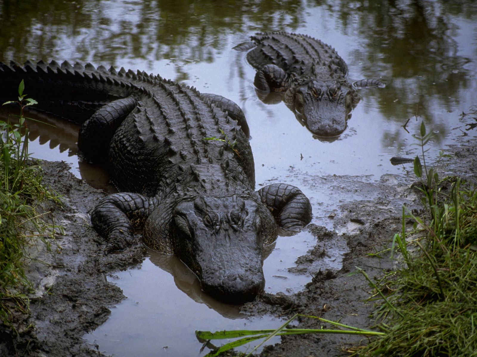 Download HQ in the marsh mud Crocodiles Wallpaper Num 16 1600 1600x1200