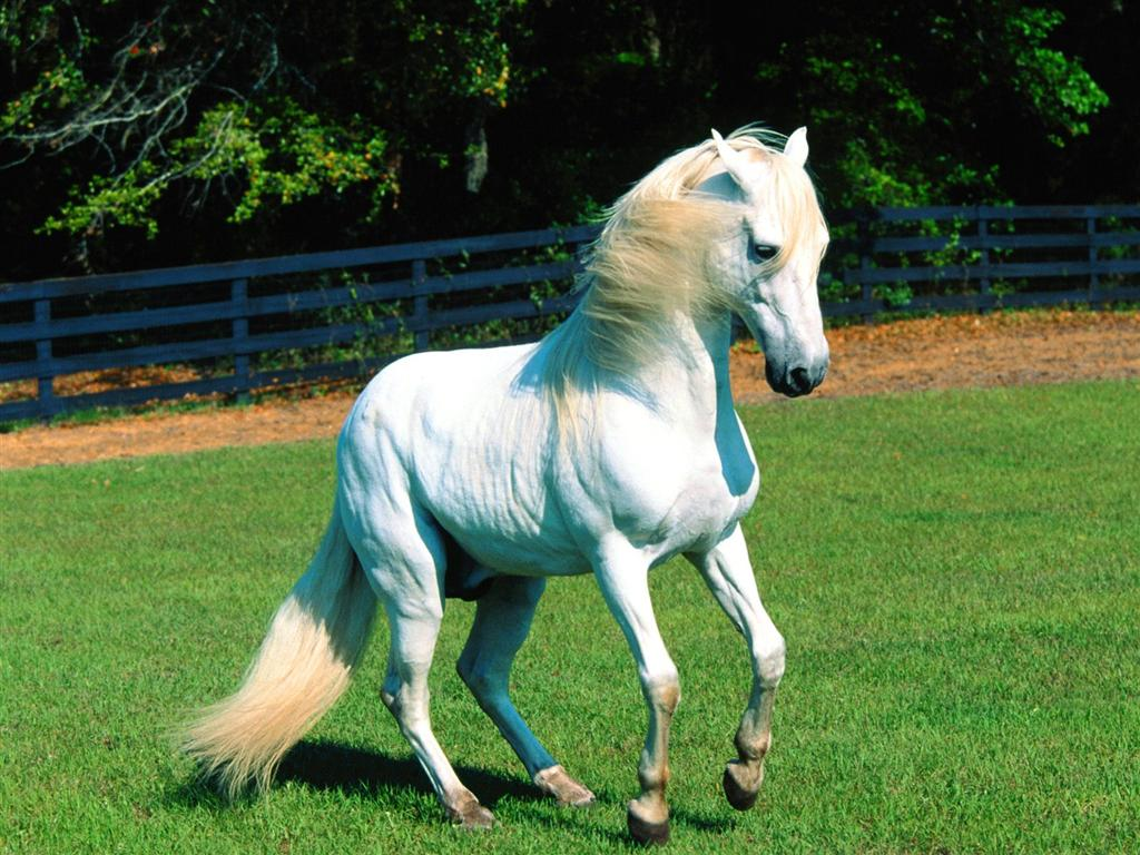 Beautiful Wallpapers White Horse Wallpapers 1024x768