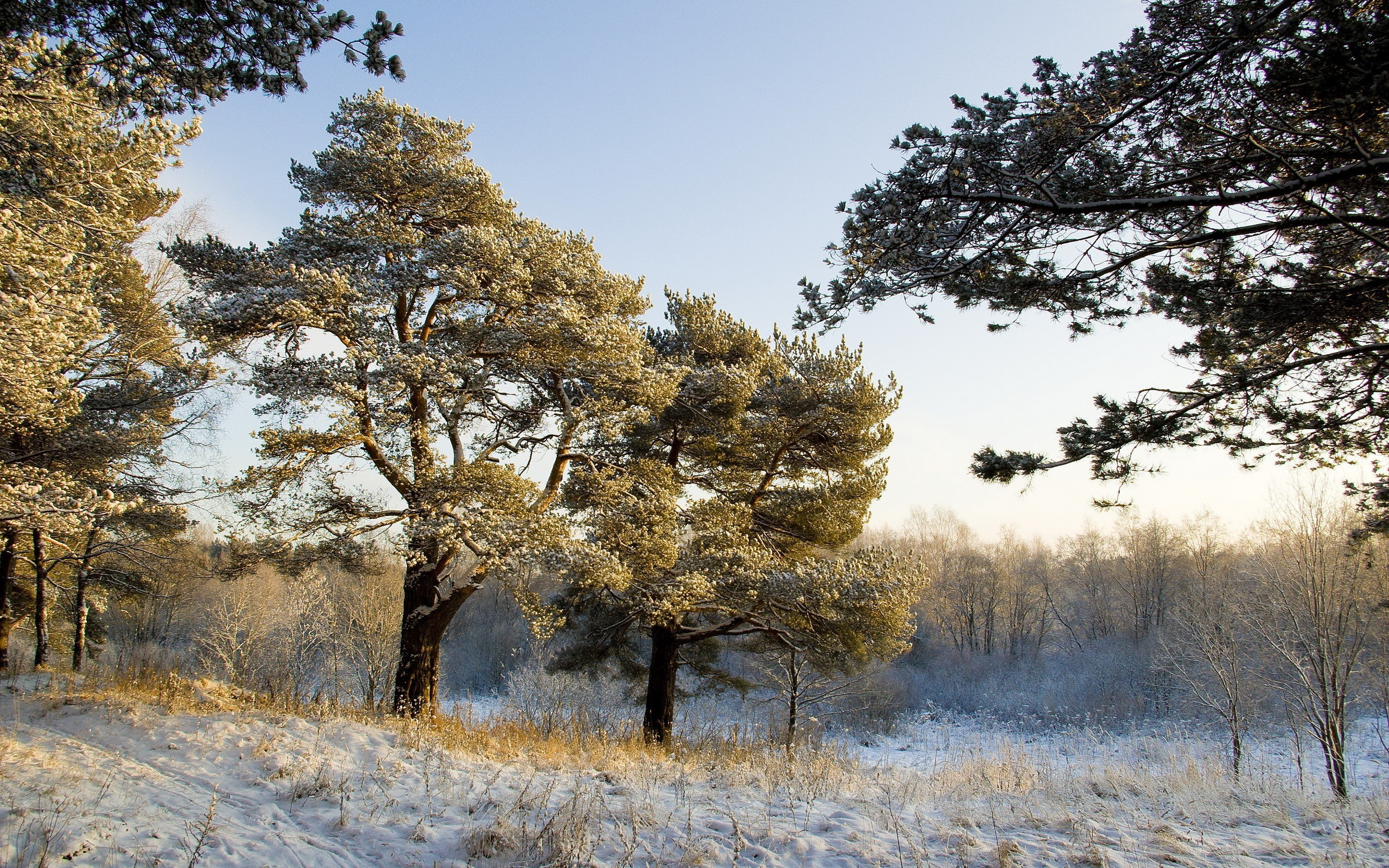 Winter pine trees wallpaper wallpapersafari - Images of pine trees in snow ...