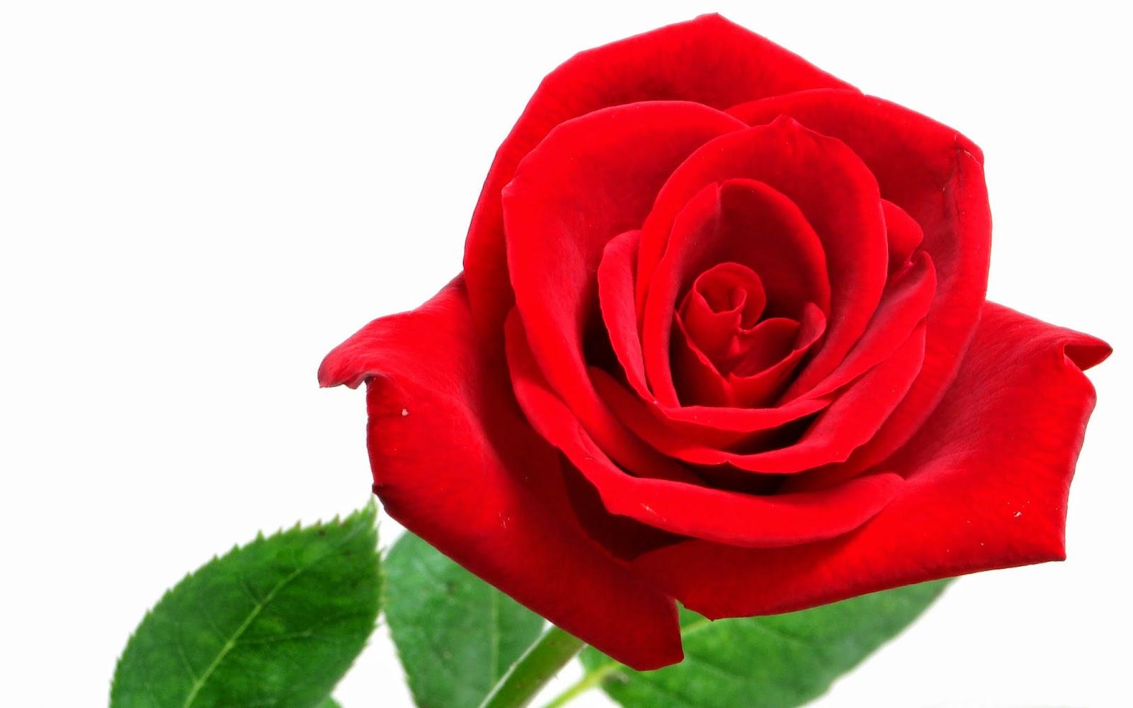 Roses wallpaper pics for screen wallpapersafari - Hd flower wallpaper rose ...