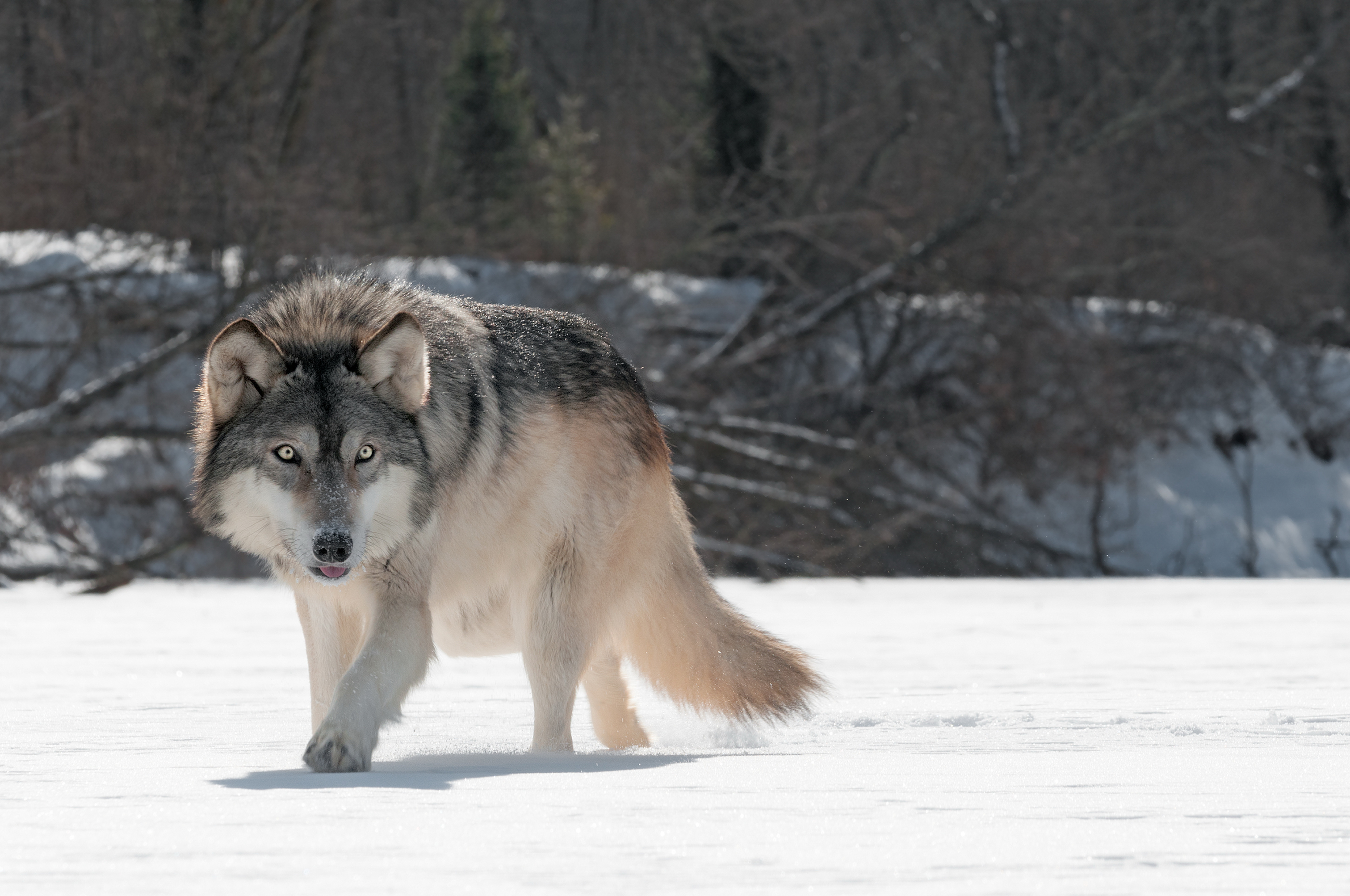 Grey Wolf Computer Wallpapers Desktop Backgrounds 5804x3854