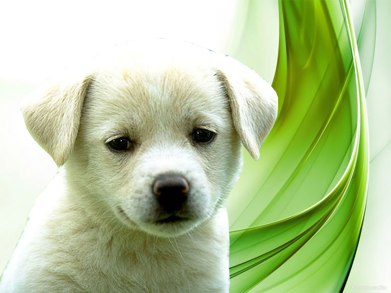 Wallpapers Download Puppies Wallpapers Download 800x600