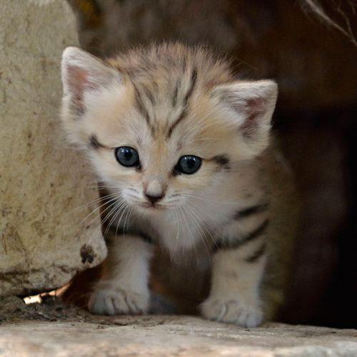 Sand Cat Kitten 500x500
