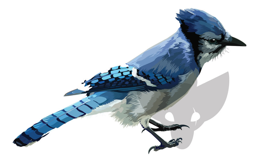 HD Desktop Wallpaper blue jay wallpapers 900x563