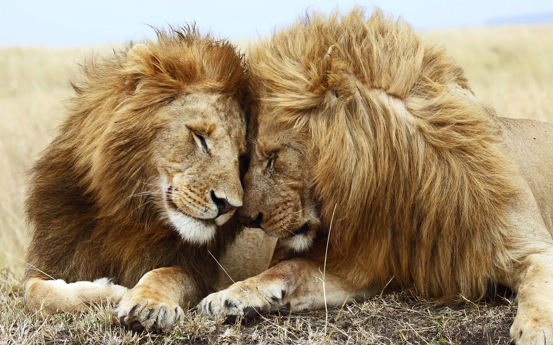 Lions Pair Wallpapers HD Wallpapers 1920x1200