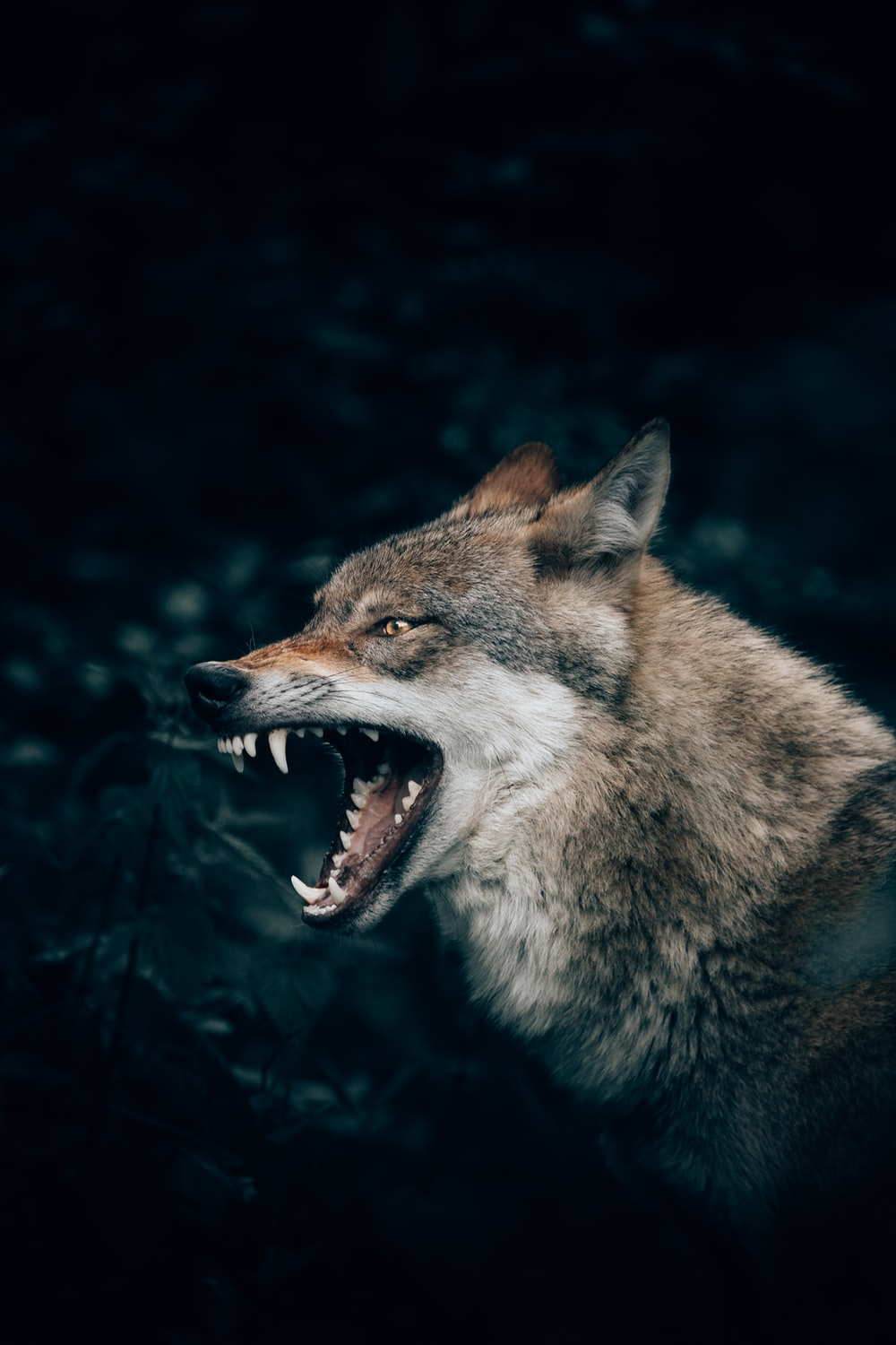Wolf Wallpapers HD Download [500 HQ] Unsplash 1000x1500