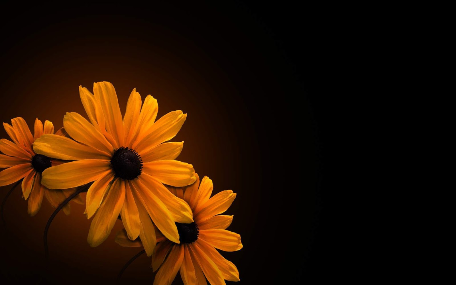 Orange Flower on Black Background Wallpaper HD 1600x1000