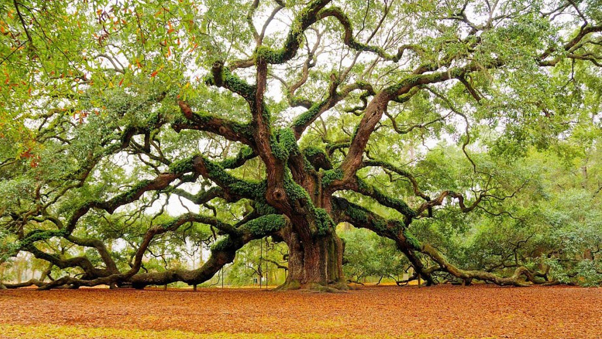 Nature Angel Oak desktop wallpaper nr 59554 by getsumtreacle 1920x1080