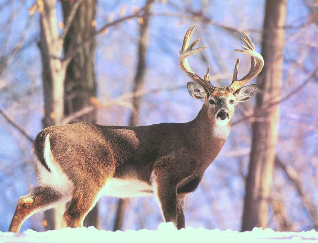 Whitetail Deer Wallpaper 1024x784