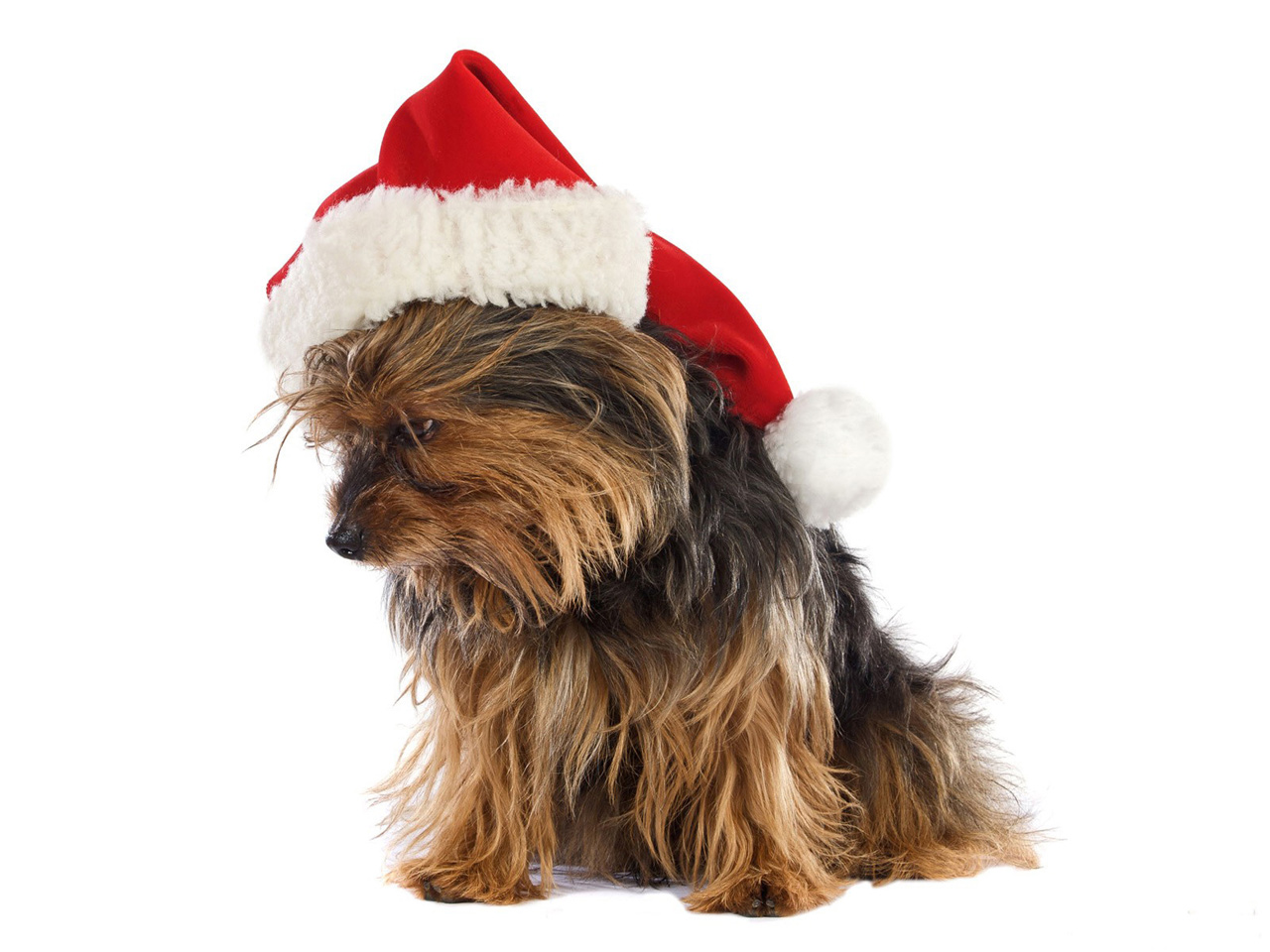 desktop wallpaper of Yorkshire Terrier Puppy Christmas 1280x960