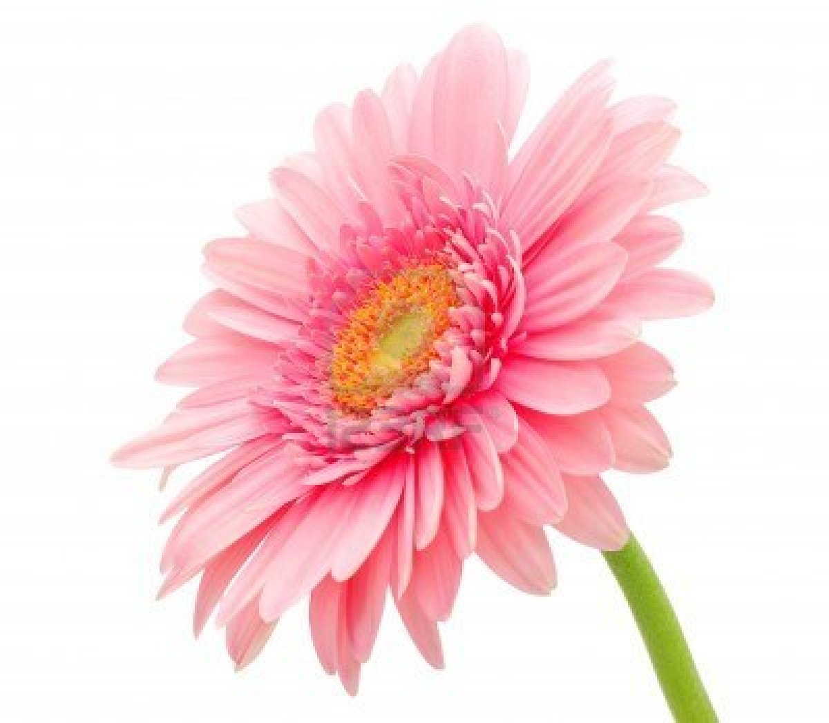 Pink Daisy Wallpaper - WallpaperSafari