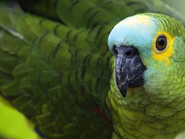 Wallpapers Amazon Parrot photo pictures 630x473