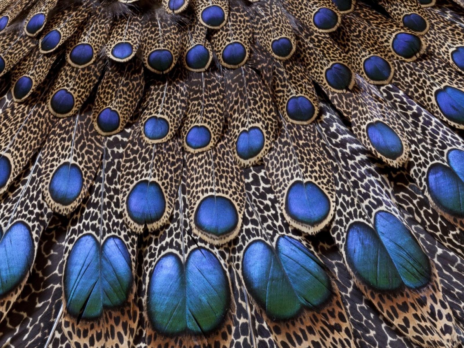 Peacock Bird Feathers Wallpaper   HD Wallpapers 1600x1200