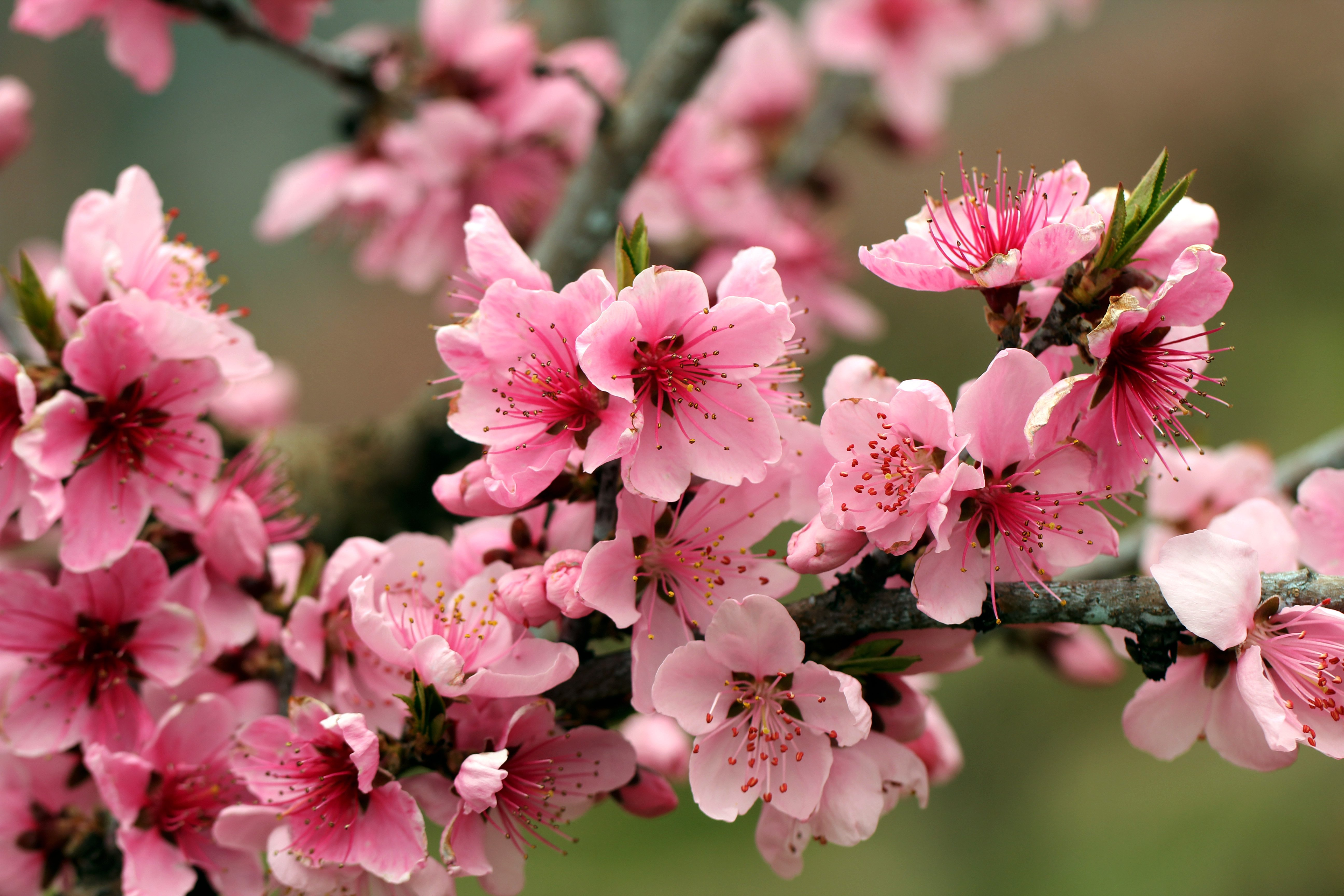 download apple tree bright spring pink flowers petals 5184x3456
